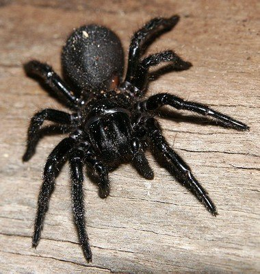 xaustralian-spiders-funnelweb1.jpg.pagespeed.ic.8mEx49XR1w